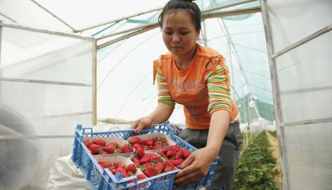 В Дагестане начали выращивать клубнику на гидре и аквапонике