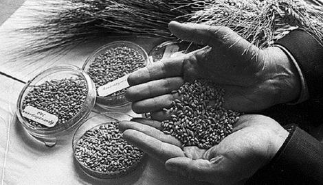 Как ленинградцы спасали уникальные семена ценой собственных жизней