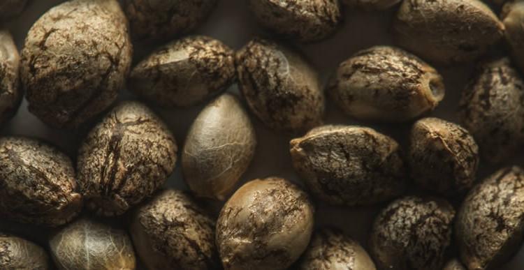 Сколько хранятся семена марихуаны семена конопляные из голландии купить в самаре