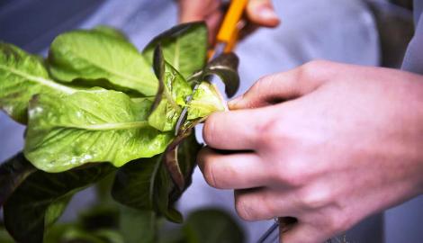 ИКЕА выращивает салаты на гидропонике для своих ресторанов