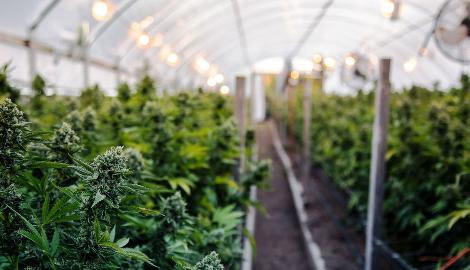 Шотландия строит свою первую легальную конопляную ферму