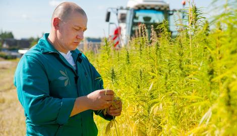 В Ивановской области откроют завод по переработке конопли