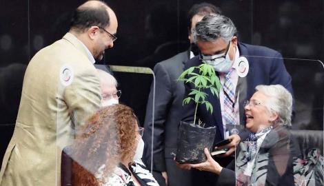 Сенатор Мексики подарил куст каннабиса секретарю МВД