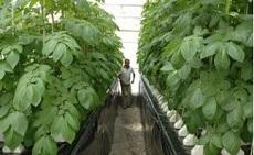 Аэропоника: беспочвенная технология, увеличивающая производство посевного картофеля в 5 раз