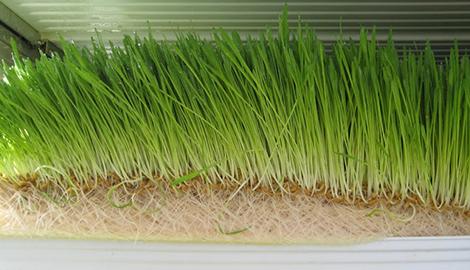 Выращивание фуражных культур на гидропонике
