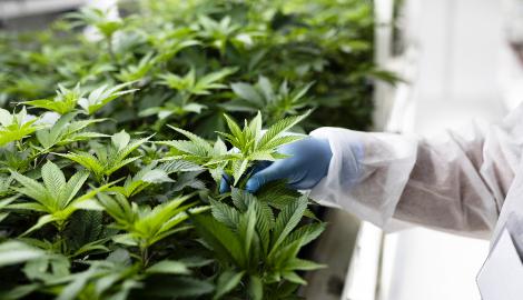 Северная Македония как крупнейший поставщик медицинской марихуаны в Европе