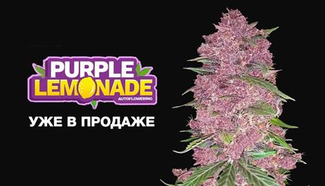 Новый фиолетовый сорт от FastBuds