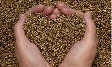 Sensi Seeds открыли завод по переработке технической конопли