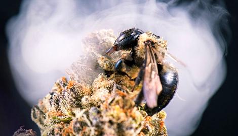 Исследование: Пчелы любят коноплю, так же как и мы