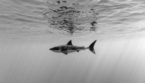 10 фактов о Великой Белой Акуле