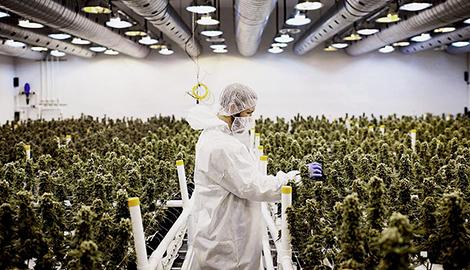 Йордан и Сачер инвестировали производство марихуаны в США