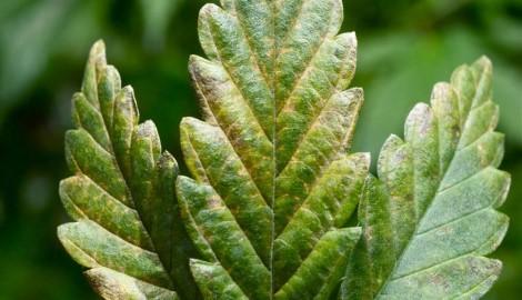 Проблемы растений: вирус табачной мозаики
