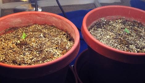 Как правильно поливать рассаду и клоны в большом горшке