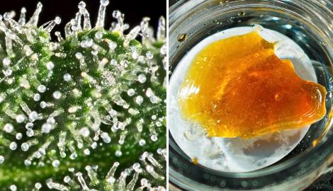 Как вырастить марихуану для концентратов