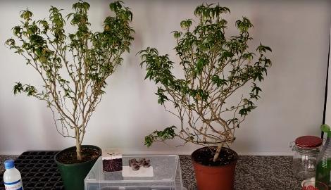 Видео: Клонирование конопли