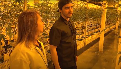 Видео: Где и как выращивают каннабис высшего качества?
