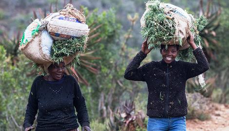 Африканское чудо. Как каннабис может спасти континент