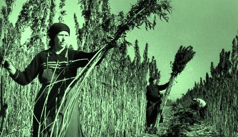 В Москве появится центр по выращиванию конопли