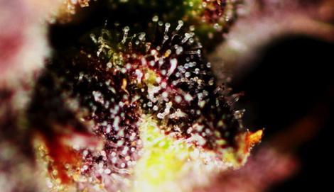 Гроурепорт Speed Devil #2 (Sweet Seeds)