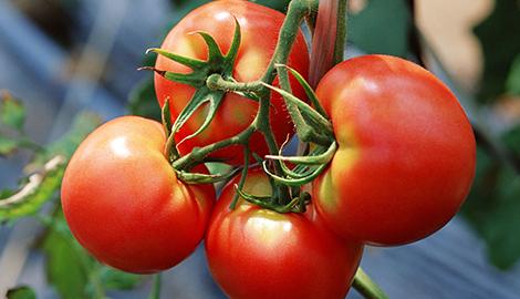Выращивание помидоров на обычном грунте и гидропонным способом
