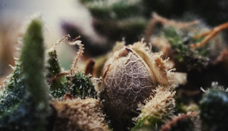 Могут ли вырасти гермики из феминизированных семян?