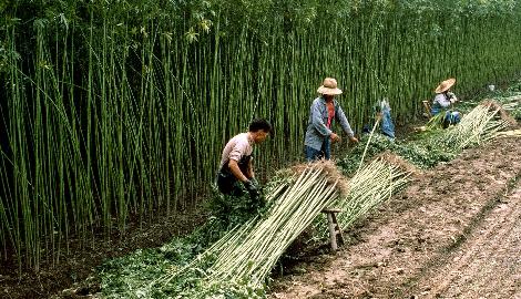 Таиланд может заработать на марихуане $687 миллионов