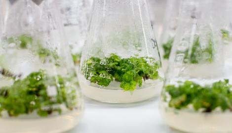 Зачем в Челябинске клонируют растения?