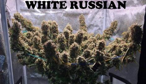 Видео: Dzagi Rep (White Russian)