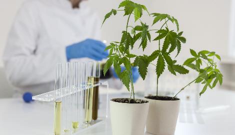 Ученые вывели сорт марихуаны, разрушающий клетки рака