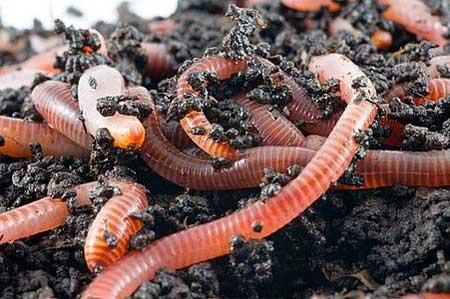 Что такое биогумус?