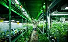 Как выращивают легальную коноплю