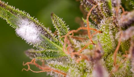 Диспенсари Невады продавали испорченную марихуану