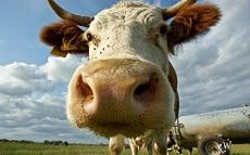 Коров из Пермского края переведут на голландскую диету