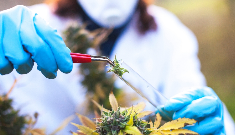 Как лаборатории по тестированию марихуаны в США делают мир лучше