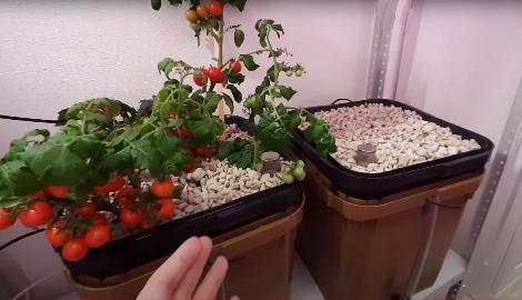 Видео: Томаты черри на гидропонике
