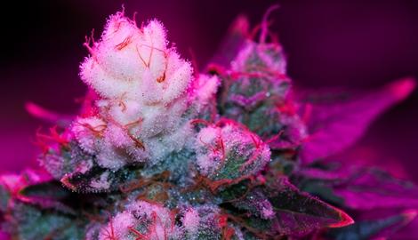 Как формируются белые кончики на соцветиях каннабиса?