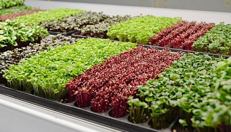 Как самому вырастить микрозелень
