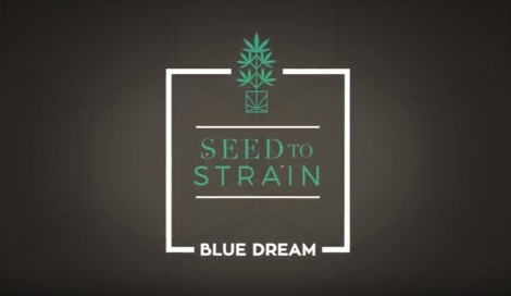 История сорта Blue Dream