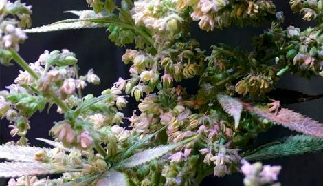 Как выбрать нужное мужское растение и создать свои семена?
