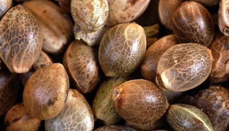 Видео: Как грамотно выбрать семена конопли