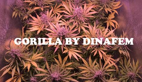 Видео: Dzagi Rep (Gorilla by Dinafem)