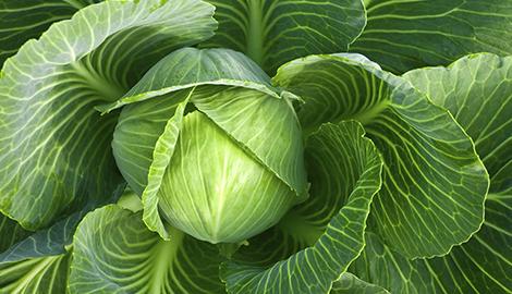 Выращивание капусты на гидропонике: трудно, но возможно
