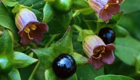 Paradise seeds: может ли Belladonna убить вас?