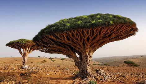 Инопланетное драконово дерево