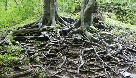 Растения корнями общаются друг с другом
