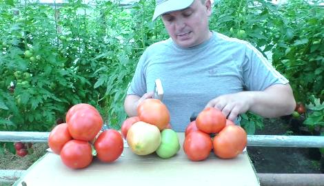 Видео: три урожайных сорта помидоров