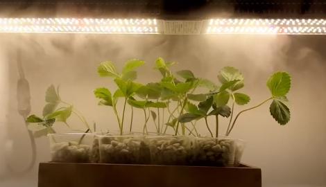 Видео: Лучший фитосвет для клубники