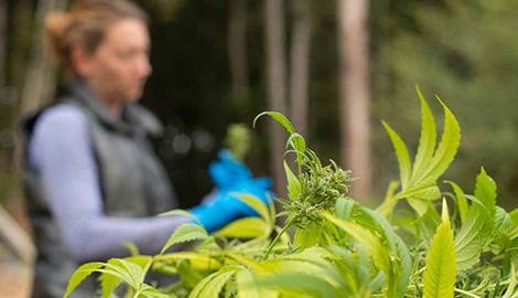 МВД России считает,что легализация mj ведет к росту преступности