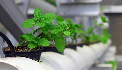 Что выращивать на гидропонике?
