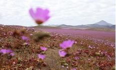 Природа застелила цветами одно из самых засушливых мест на планете